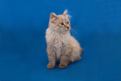 Kurilian bobtail Royalty Free Stock Photography