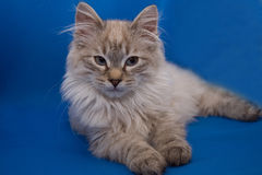 Kurilian bobtail Stock Photo