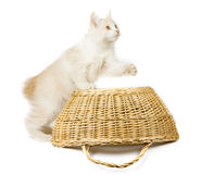 Kurilian Bobtail Stock Photography