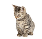 Kurilian Bobtail Royalty Free Stock Photo