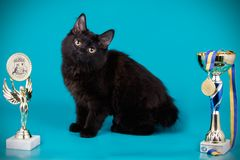 Kurilian bobtail cat on colored backgrounds. Studio photography of a kurilian bobtail cat on colored backgrounds royalty free stock images