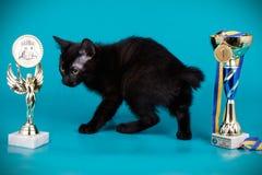 Kurilian bobtail cat on colored backgrounds. Studio photography of a kurilian bobtail cat on colored backgrounds stock photography