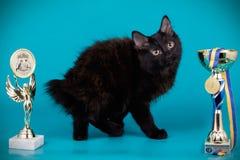 Kurilian bobtail cat on colored backgrounds. Studio photography of a kurilian bobtail cat on colored backgrounds stock photo