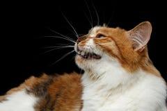 Kurilian Bobtail cat on isolated black background Stock Photos