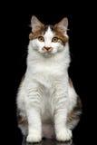 Kurilian Bobtail cat on isolated black background Stock Images