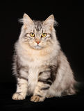 Kurilian bobtail cat Royalty Free Stock Photos