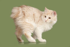 Kurilian Bobtail kitten Royalty Free Stock Photo