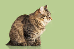 Kurilian Bobtail kitten Royalty Free Stock Photography