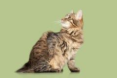 Kurilian Bobtail kitten Royalty Free Stock Image