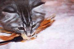 Kurilian Bobtail kitten blue silver tabby plays stock images