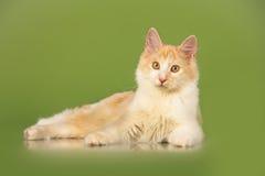 Kurilian Bobtail kitten Royalty Free Stock Photo