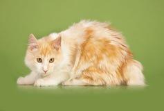 Kurilian Bobtail kitten Stock Image