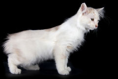 Kurilian Bobtail kitten Royalty Free Stock Images