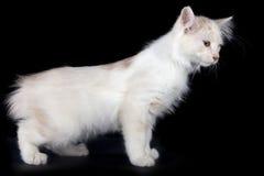 Kurilian Bobtail kitten Royalty Free Stock Images