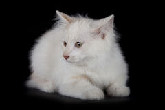 Kurilian Bobtail kitten Royalty Free Stock Photos