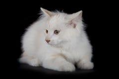 Kurilian Bobtail kitten Royalty Free Stock Photos