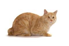 Kurilian Bobtail red cat Stock Images