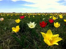 Flowers. Kurilovskaya Tulip Steppe. Every April, these wild tulips bloom in the Saratov region. The colorful tulips of Schrenk are listed in the Red Book Stock Photo