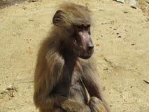 Kuriositäts-Nizza Detail-Bild des Makaken-Affe-Affen auf Steinfelsen Stockbild