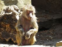 Kuriositäts-Nizza Detail-Bild des Makaken-Affe-Affen auf Steinfelsen Stockfotografie