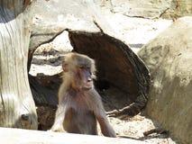Kuriositäts-Nizza Detail-Bild des Makaken-Affe-Affen auf Steinfelsen Lizenzfreie Stockfotografie