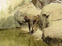 Kuriositäts-Nizza Detail-Bild des Makaken-Affe-Affen nahe bei Wasser auf Steinfelsen Lizenzfreies Stockbild