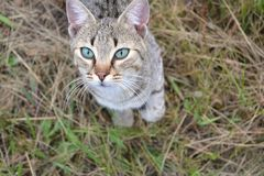 Kuriositet av den genomsnittliga katten royaltyfria bilder