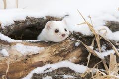 Kuriositet dödade katten Arkivbild