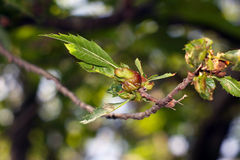 Kuriphilus Yasumatsu de Dryocosmus foto de stock royalty free