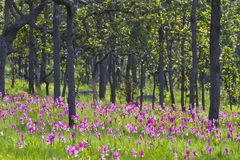 Kurkuma alismatifolia 'Rosa' 'Siam Tulip' Stockfotografie