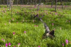 Kurkuma alismatifolia 'Rosa' 'Siam Tulip' Stockbilder