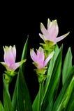 Kurkuma kwitnie na czarnym tle Fotografia Stock