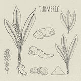 Kurkuma medische botanische geïsoleerde illustratie Installatie, wortelschema, bladeren, kruidenhand getrokken reeks Uitstekende  Stock Afbeelding