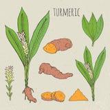 Kurkuma medische botanische geïsoleerde illustratie Installatie, wortelschema, bladeren, kruidenhand getrokken reeks Uitstekende  Royalty-vrije Stock Foto's