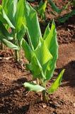 kurkuma roślin zdjęcia royalty free