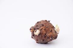 Kurkuma Zanthorrhiza Roxb Lizenzfreie Stockfotografie