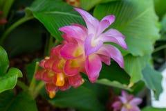 Kurkumasessilis, de Tropische bossen van Thailand, Bloem in de tuin op een regenachtige dag Royalty-vrije Stock Fotografie