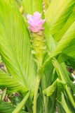 Kurkumowy aeruqinosa kwiat Zdjęcia Stock