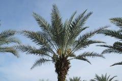 Kurma φρέσκο στο δέντρο στοκ εικόνες με δικαίωμα ελεύθερης χρήσης
