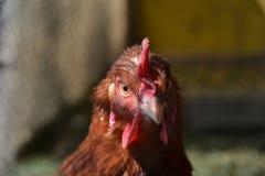 Kurny odprowadzenie na barnyard Młody kurczaka standig samotnie na stajnia jardzie z kurczak klatką Fotografia Royalty Free