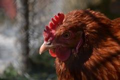 Kurny odprowadzenie na barnyard Młody kurczaka standig samotnie na stajnia jardzie z kurczak klatką Obrazy Royalty Free