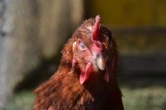 Kurny odprowadzenie na barnyard Młody kurczaka standig samotnie na stajnia jardzie z kurczak klatką Obraz Stock