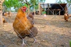 Kurny przyglądający rzut druciany ogrodzenie od swój kurczaka padoku, wczesny wiosna dnia ranek przy wsią w Greci wiosce, Rumunia zdjęcie royalty free