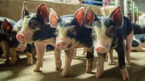 Kurobuta猪- Â猪农场经营放松时间 库存图片