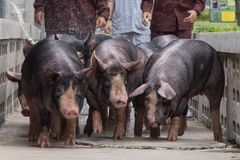Free Kurobuta Pig -swine Farming Business In Relax Time Royalty Free Stock Images - 114786999