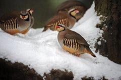 Kuropatwa w zima Zdjęcie Royalty Free