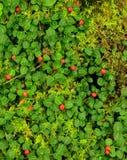 Kuropatwia jagoda obrazy stock