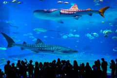 Kuroshio Sea main tank in Okinawa Churaumi Aquarium. Visitors at the Kuroshio Sea main tank Stock Images