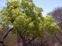 Kurrajong Tree with Lime Green leaves that appear in Summer. Kurrajong Tree with Lime Green leaves that appear in the middle of summer. Kurrajong, Brachyichiton stock photography