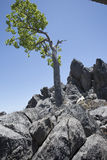 Kurrajong tree on limestone ridge Royalty Free Stock Photo